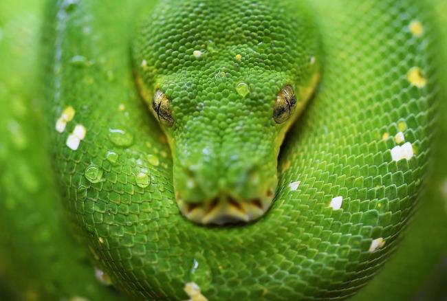 Свернувшаяся клубком змея крупным планом