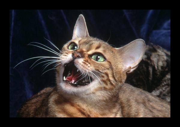 Кричащая кошка